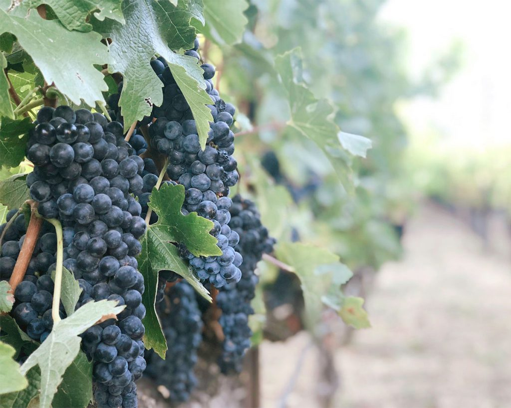 vineyard near south haven